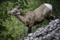 Bighorn sheep eating a ewe eats leaves in jasper national park canada Royalty Free Stock Image
