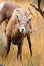 Bighorn Sheep Ewe Royalty Free Stock Image