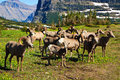 Bighorn sheep in Glacier National Park, Montana Royalty Free Stock Photo