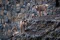 Bighorn sheep herd of standing near the mountain road Stock Photography