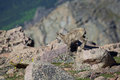 Bighorn sheep lamb in the alpine a cute walking through rocks Royalty Free Stock Photo