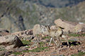 Bighorn sheep lamb a cute in the alpine Stock Photography