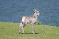 Bighorn sheep lamb on grass by lakeshore ovis canadensis near banff alberta Stock Photo