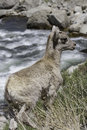 Bighorn sheep lamb a ovis canadensis climbs the side of a mountain after getting a drink whitewater makes up the background of the Stock Photography