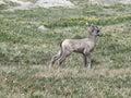 Bighorn sheep lamb walking across an alpine meadow near mount evans in colorado Stock Photo