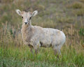 Bighorn sheep lamb young ovis canadensis in badlands national park in south dakota Royalty Free Stock Photos