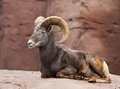 Bighorn sheep lying on a rock Royalty Free Stock Photo