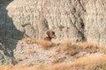 Bighorn sheep lying on a rock. Royalty Free Stock Photo