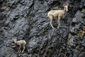 Bighorn sheep mother and calf a ewe look for predators after climbing a steep rock face in the pouring rain along the kananaskis Royalty Free Stock Photos