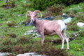 Bighorn sheep (Ovis canadensis) Stock Photo