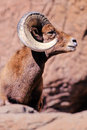 Bighorn Sheep, Ovis canadensis Stock Photo