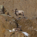 Bighorn Sheep Ovis canadensis Royalty Free Stock Photo