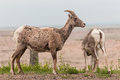 Bighorn Sheep Pair (Ovis canadensis) Royalty Free Stock Image
