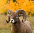 Bighorn Sheep portrait Stock Photos