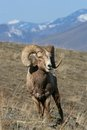 Bighorn sheep ram Royalty Free Stock Images