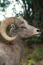 Bighorn sheep ram Royalty Free Stock Photo