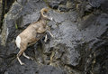 Bighorn sheep ram jumping a jumps on a rocky mountain cliff in kananaskis country canada Stock Images