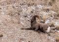 Bighorn Sheep Ram Royalty Free Stock Photo