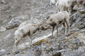 Bighorn Sheep rams on cliff Royalty Free Stock Photo