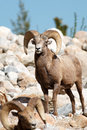Bighorn sheep rams Royalty Free Stock Photo