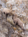 Bighorn Sheep Rams Fight Royalty Free Stock Photo