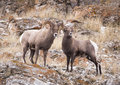 Bighorn Sheep Rams Royalty Free Stock Photo