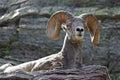 Bighorn Sheep resting on Ledge Royalty Free Stock Photo