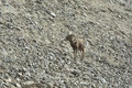 Bighorn Sheep on a rocky slope Stock Photos