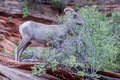 Bighorn sheep at zion national park eating photo taken on summer of my first time out west Stock Image