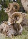 Bighorn Sheeps Stock Photo