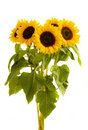Bight sunflowers bouquet Stock Image