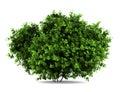 Bigleaf hydrangea bush isolated on white Royalty Free Stock Photo