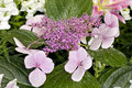 Bigleaf Hydrangea Hydranea macrophylla Royalty Free Stock Photo