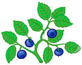 Bilberry branch Royalty Free Stock Photo