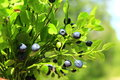 Bilberry on the branch Royalty Free Stock Photo