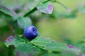 Bilberry branch of ripe close up Royalty Free Stock Photos