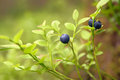Bilberry branch of ripe close up Royalty Free Stock Photo