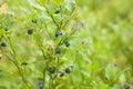 Bilberry bush Royalty Free Stock Photo