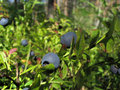 Bilberry-bush Royalty Free Stock Photo