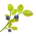 Bilberry isolated Royalty Free Stock Photo
