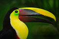 Bill toucan portrait. Beautiful bird with big beak. Toucan. Big beak bird Chesnut-mandibled sitting on the branch in tropical rain Royalty Free Stock Photo