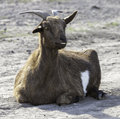 Billie goat a brown sitting on the ground Royalty Free Stock Photography