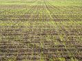 Billowy field young growth with the crops Royalty Free Stock Photos