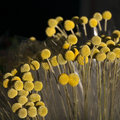 Billy balls beautiful yellow flowers on the market Stock Photography