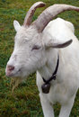 Billy goat Royalty Free Stock Photography