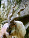 Billy goat a beatiful Stock Photography