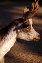 Billy goat a in close up Royalty Free Stock Photos