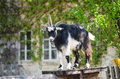 Billy goat majestic guarding animal Stock Images
