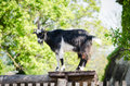 Billy goat majestic guarding animal Stock Photo