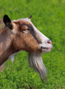 Billy goat portrait Stock Images